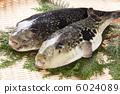 河豚 河豚鱼 新鲜的鱼 6024089