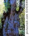 Special natural monument Jomon cedar 6043649