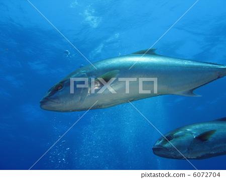 Fishes (Seriola dumerili) 6072704