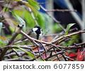 大山雀 山雀 野生鳥類 6077859