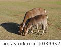 鹿 小鹿 飞火野 6089952
