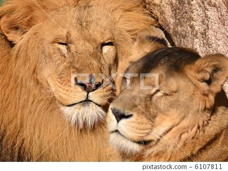 Lion 6107811