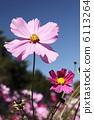 식물, 코스모스, 꽃 6113264