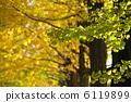 银杏 银杏树 黄色 6119899