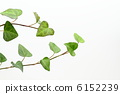 japanese, creeper, ivy 6152239