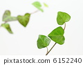 japanese, creeper, ivy 6152240