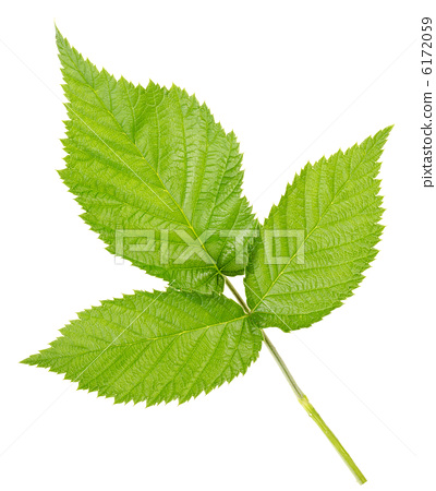 Three leaves of raspberry 6172059
