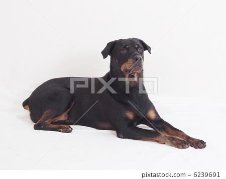 RotWeiler轉過身來 6239691