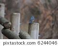 紅脅藍尾鴝 6244046