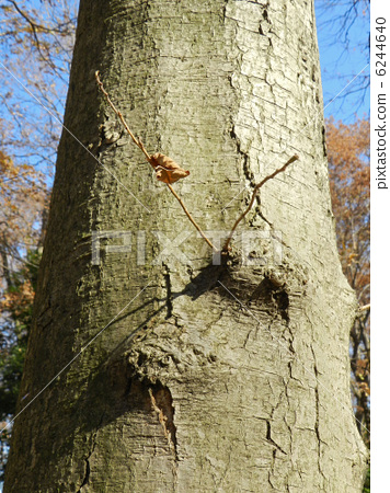 Alder tree (Kanon tree) 6244640