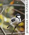 大山雀 山雀 鳥兒 6258822