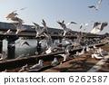 飛來 候鳥 紅嘴鷗 6262587