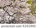 盛開的櫻花照耀在水面上 6262840
