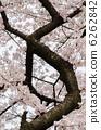 強大的櫻桃樹枝 6262842