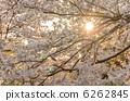 日落和櫻花盛開 6262845