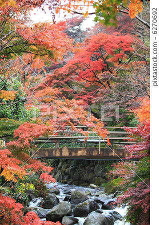 Momiji and red bridge at Atami plum garden December photograph Autumn leaves 6270692