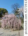 鸡爪槭 奥州市shidare日本枫树 benishidare樱桃 6273913