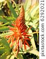 蘆薈 花朵 花 6292021