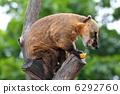 mammals, mammal, coati 6292760