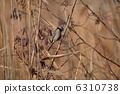 大山雀 山雀 野生鳥類 6310738