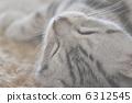 猫 猫咪 波斯猫 6312545