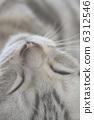 猫 猫咪 波斯猫 6312546