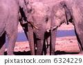 非洲大象飲用水 6324229