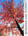 sweetgum, red, leafe 6336477