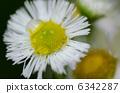 白花和水滴 6342287
