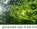 綠色楓樹 6342294