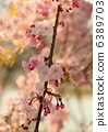 Red branch cherry-blossoms 6389703