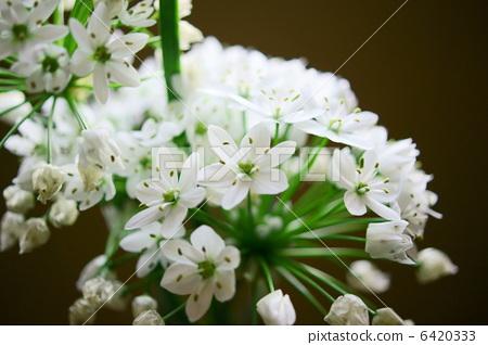 알리움 · 코와니 꽃말 : 올바른 주장 Allium neapolitanum 6420333