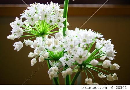 알리움 · 코와니 꽃말 : 올바른 주장 Allium neapolitanum 6420341