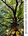 樟木 樟腦樹 樹木 6439378
