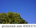 樟木 樟腦樹 大樹 6439379