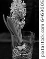 Hyacinth 6469605
