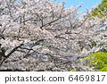 櫻桃樹 6469817