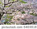 櫻桃樹 6469818