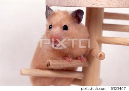 Kinka hamster 6525407