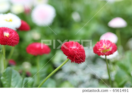 Daisy 6561491