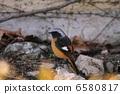 冬候鳥 候鳥 鳥兒 6580817