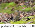 白腹鶇 冬候鳥 野生鳥類 6613838