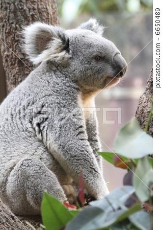 Koala 6650489