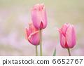 핑크 튤립 6652767