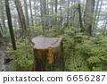 arboreal, abies, mariesii 6656287