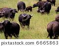 ควายแอฟริกากินหญ้า 6665863
