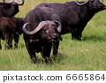 ควายแอฟริกากินหญ้า 6665864