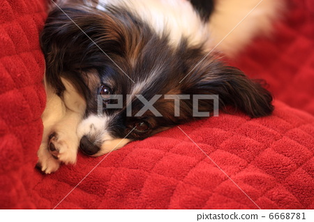 toy dog, small-breed dog, doggy 6668781
