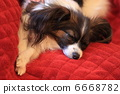papillon, doggy, puppy 6668782