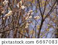 Cornus officinalis 6697083